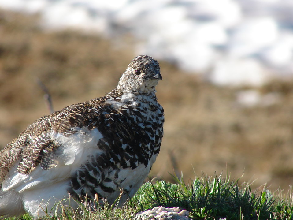 White-tailed Ptarmigan in Summer Plumage