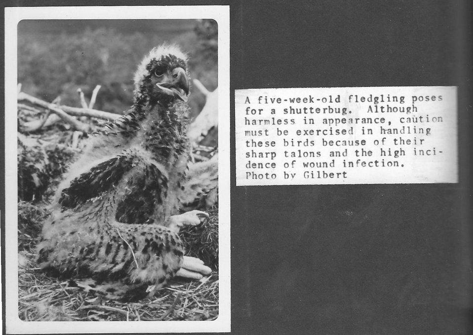 (1967) Feisty Eaglet
