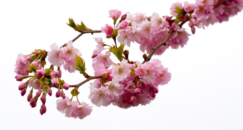 Pink blossom flowers isolated