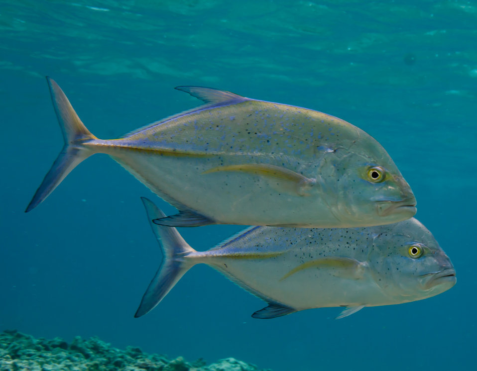 a pair of 'omilu or blue trevally