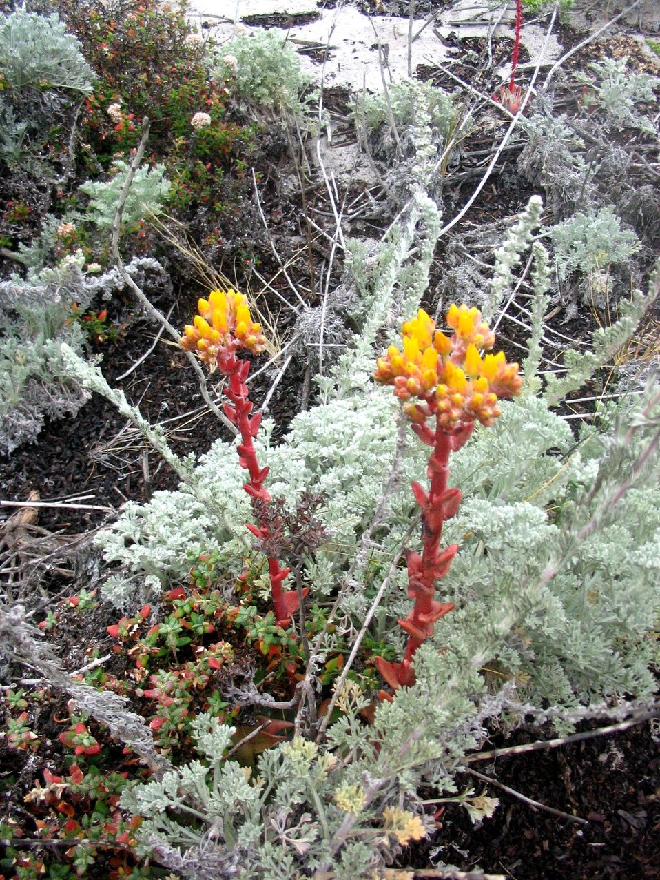 Stonecrop (Sedum sp.)
