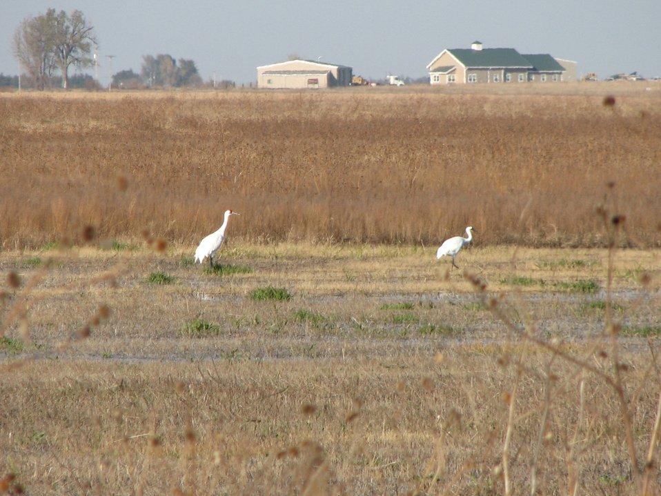 Whooping cranes on Funk WPA, NE