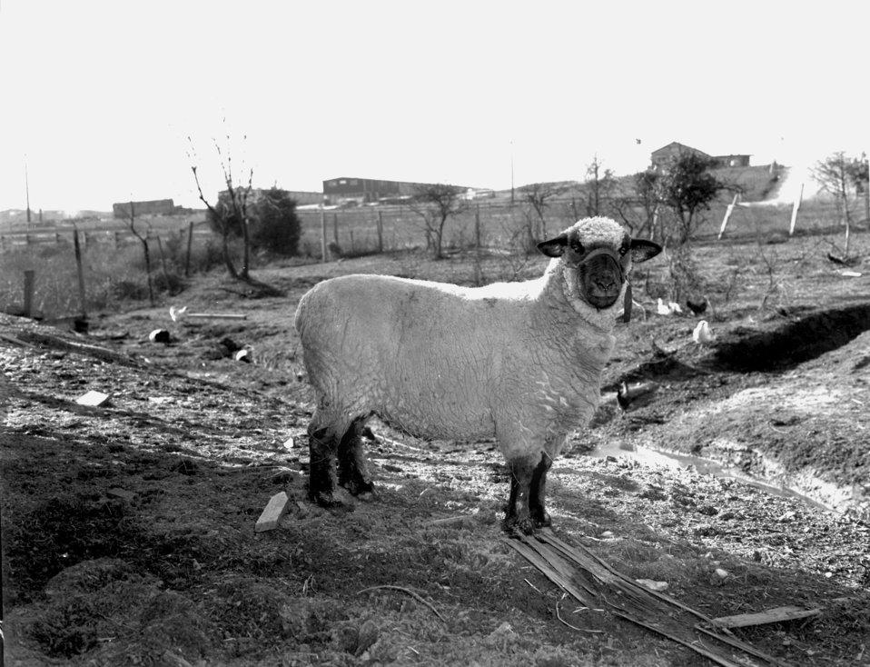 Sheep Oak Ridge