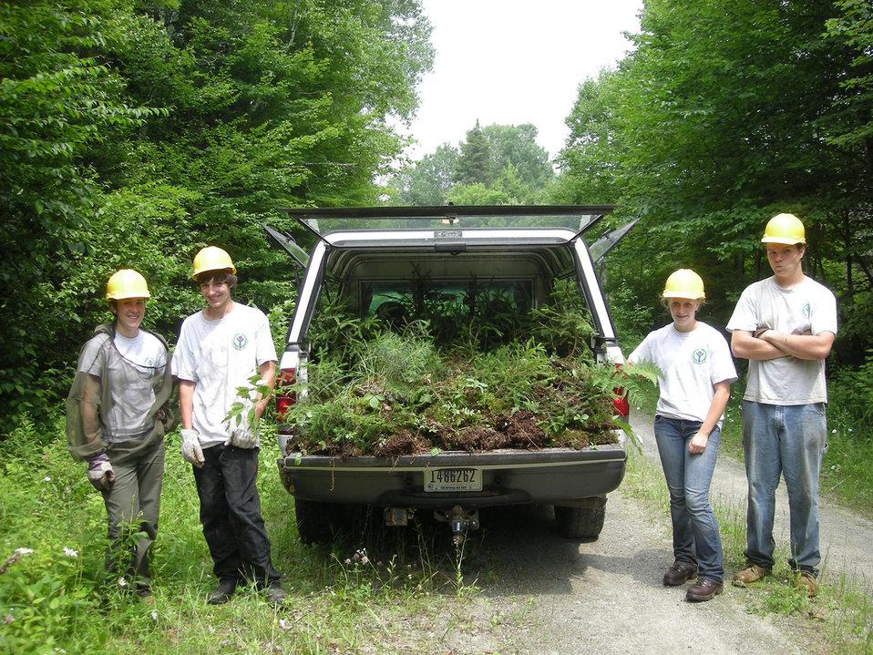 Harvesting spruce seedlings