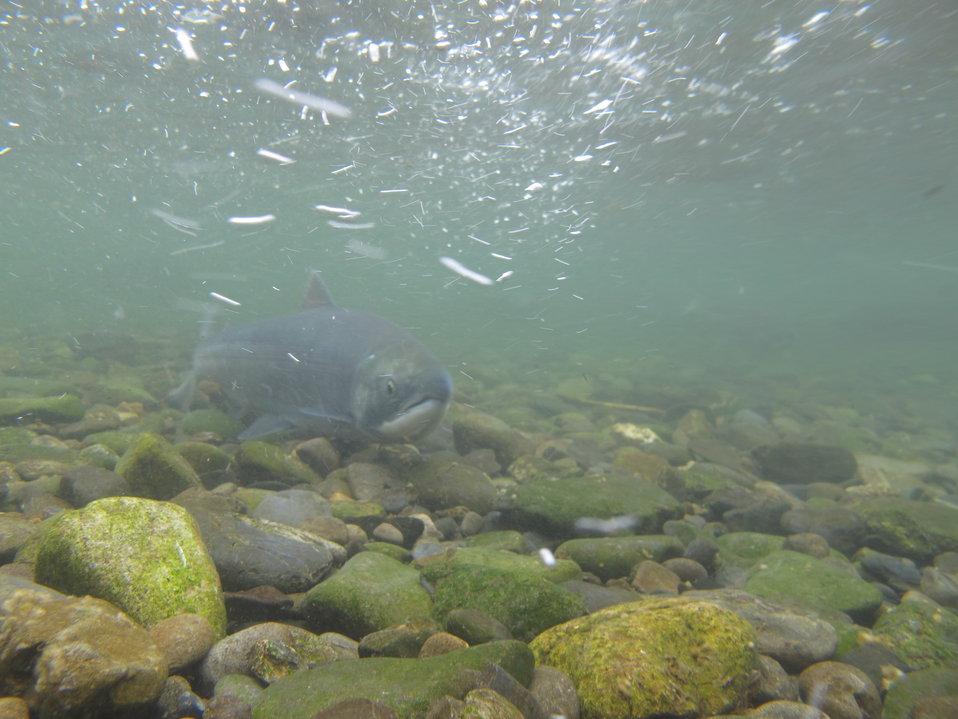 Russian River sockeye salmon
