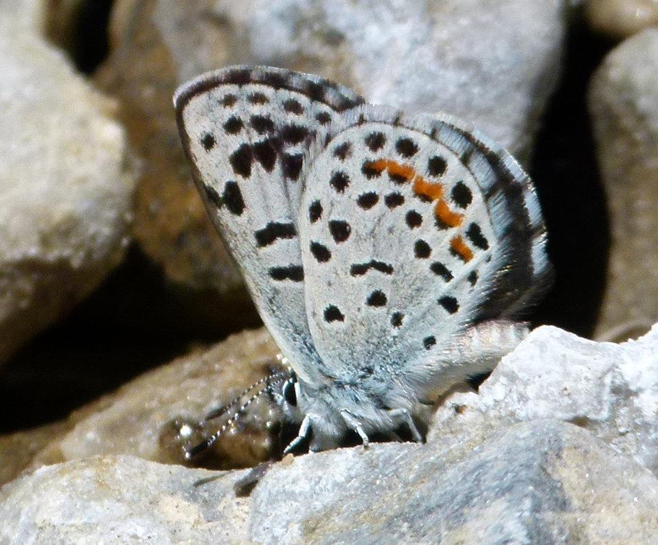 Spring Mountains dark blue early (Euphilotes ancilla purpura)