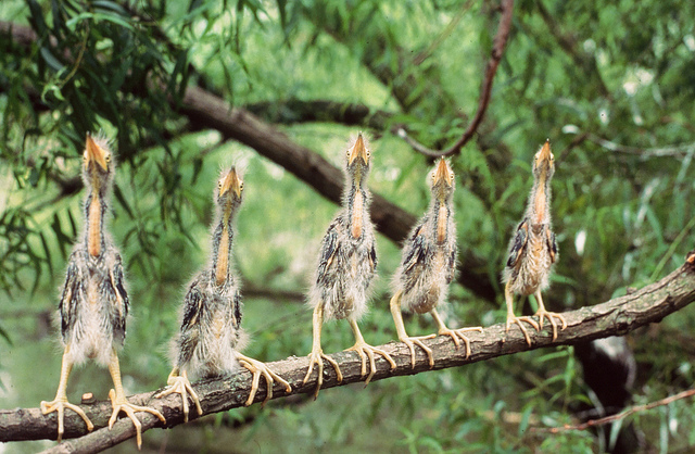 young green herons on a branch