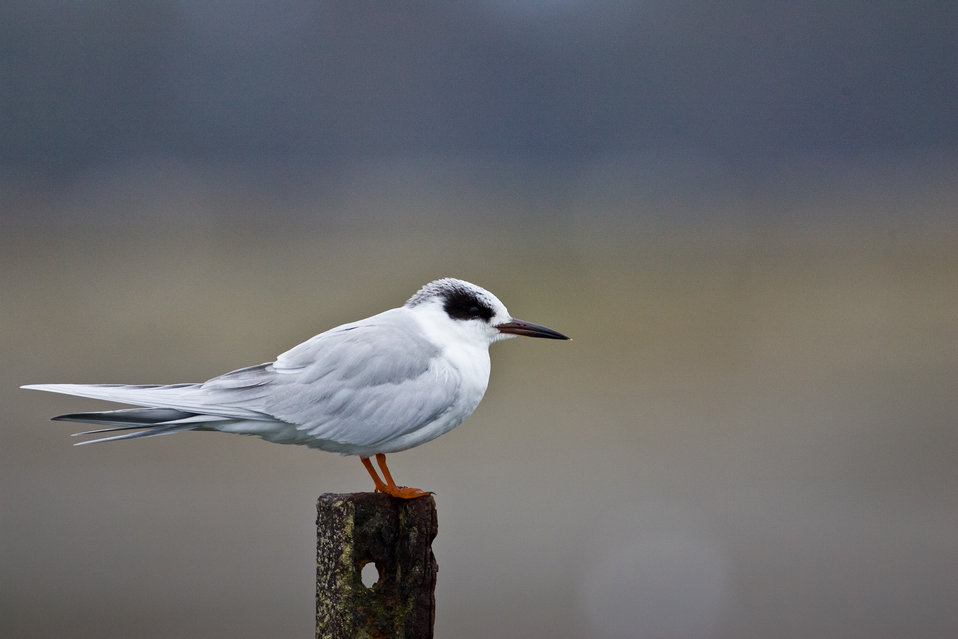 Adult non-breeding Forster's tern