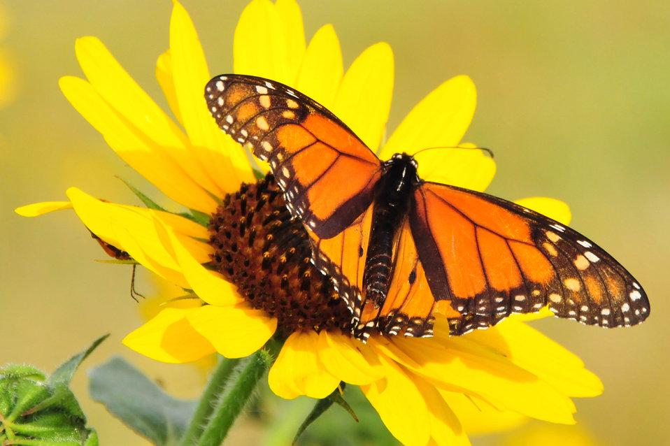 Monarch on Sunflower Lacreek NWR