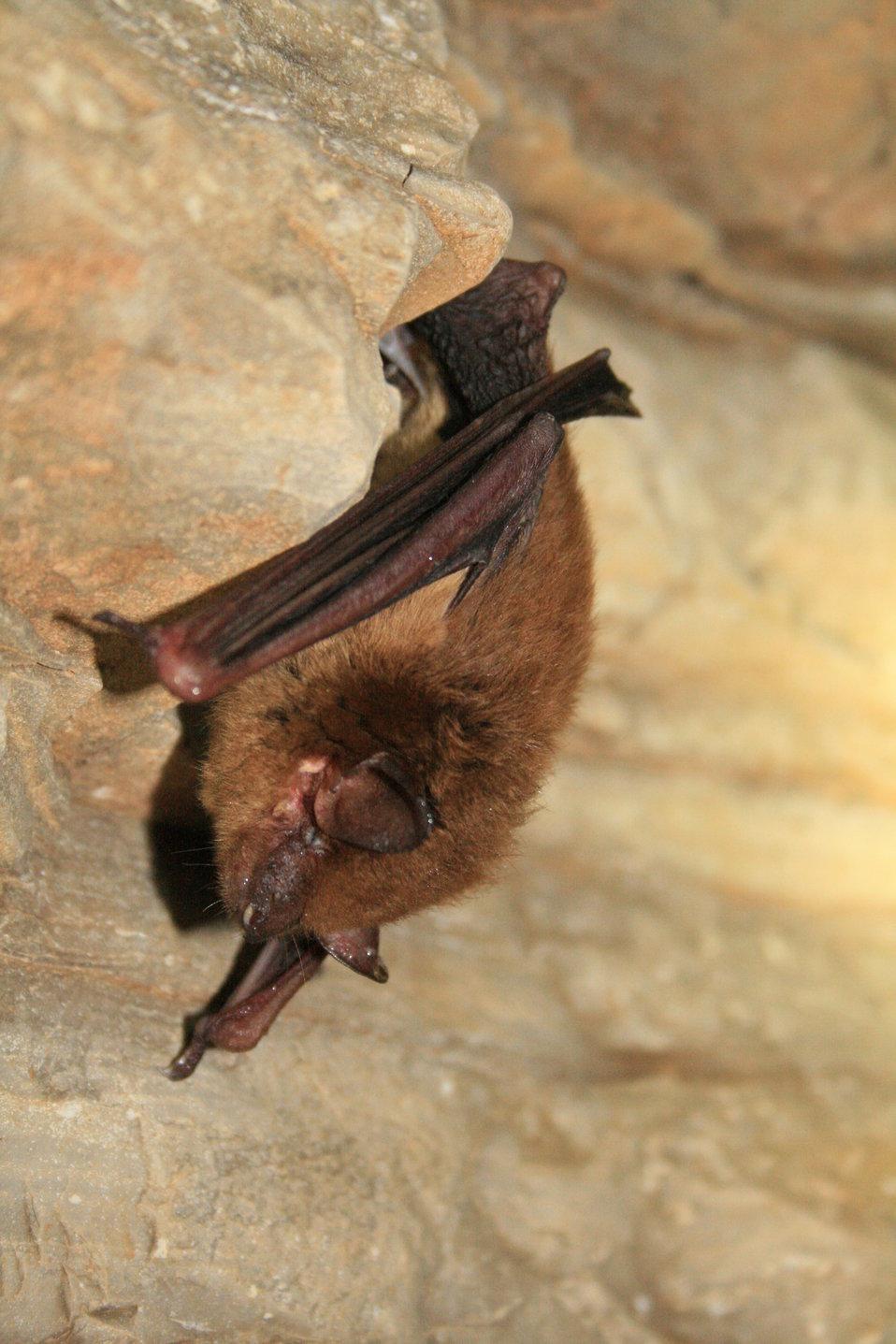 healthy hibernating big brown bat