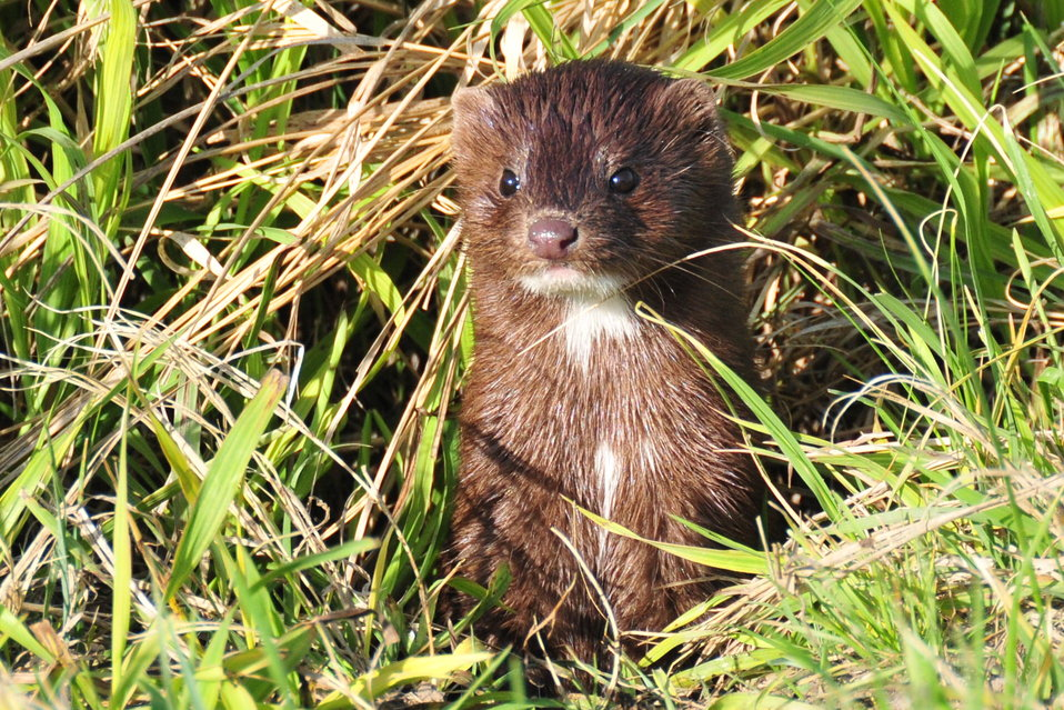 Mink on Lacreek National Wildlife Refuge 01