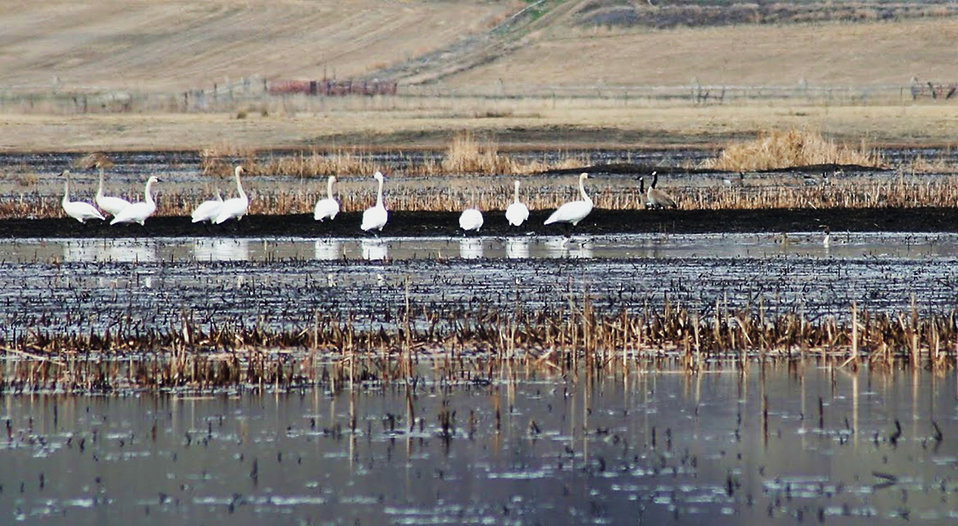 Trumpeter Swans sighted post-fire