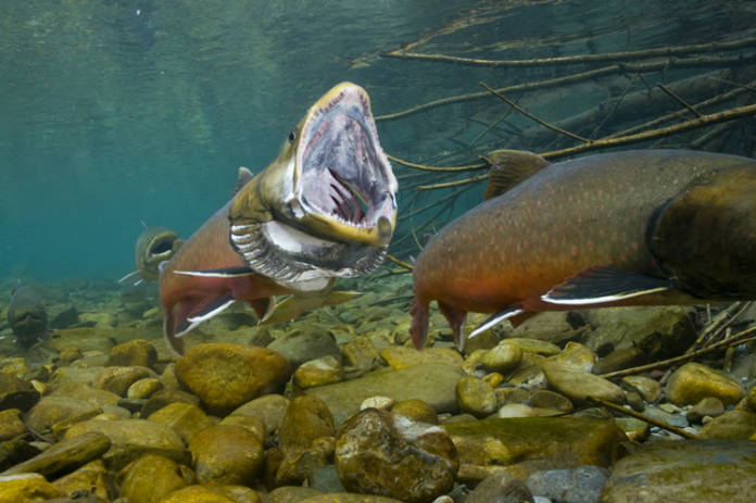 Bull Trout Open Mouth