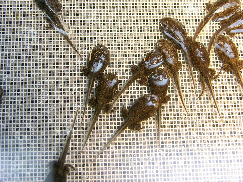 Wyoming Tadpoles