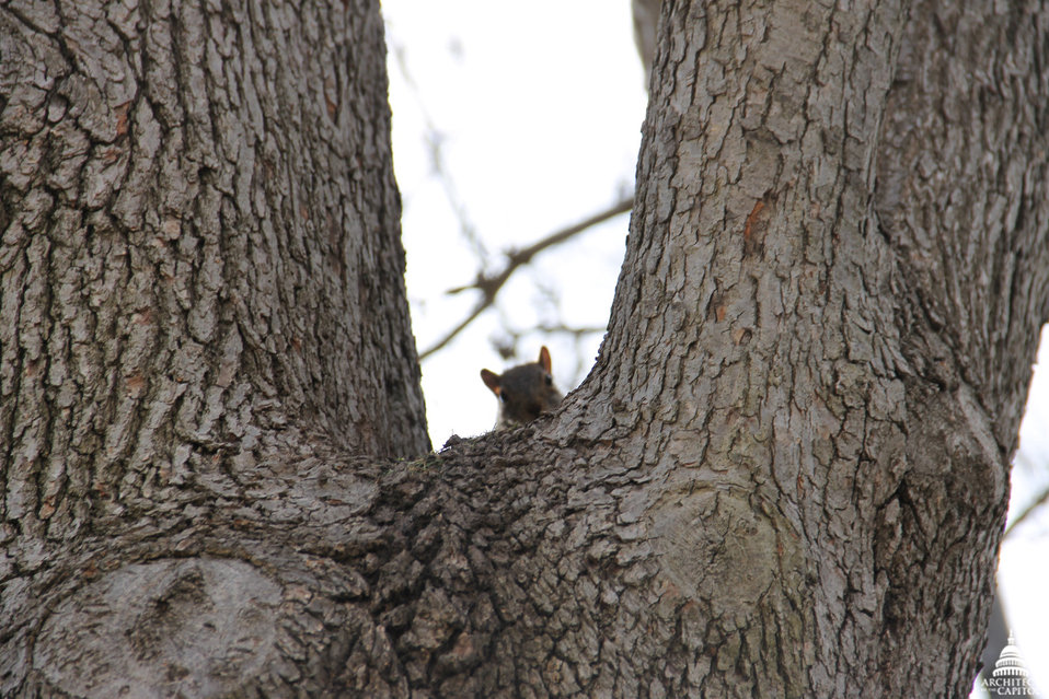 Squirrel in Senate Park Oak Tree