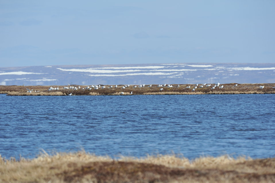 Non-breeding gull colony