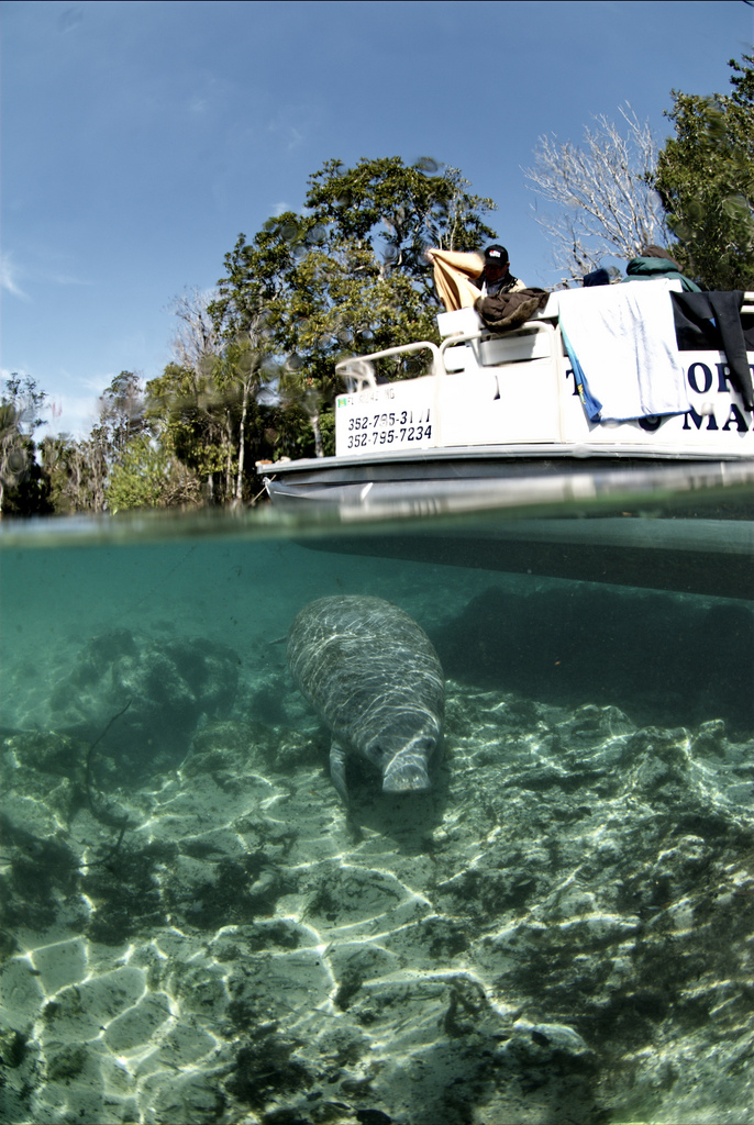 Endangered Florida manatee (Trichechus manatus), Crystal River National Wildlife Refuge