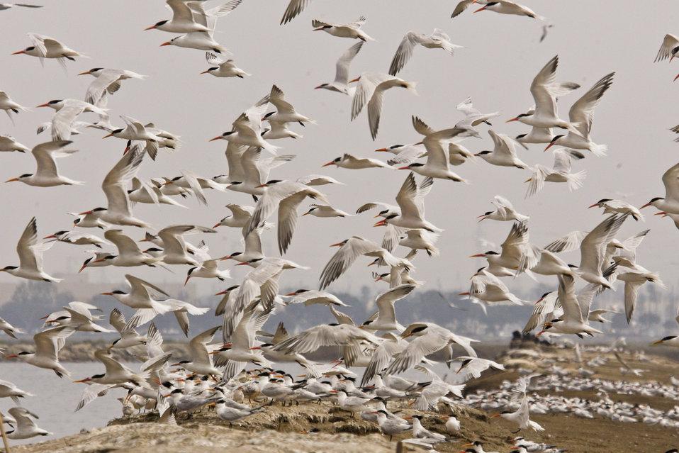 Elegant tern flock (Sterna elegans)