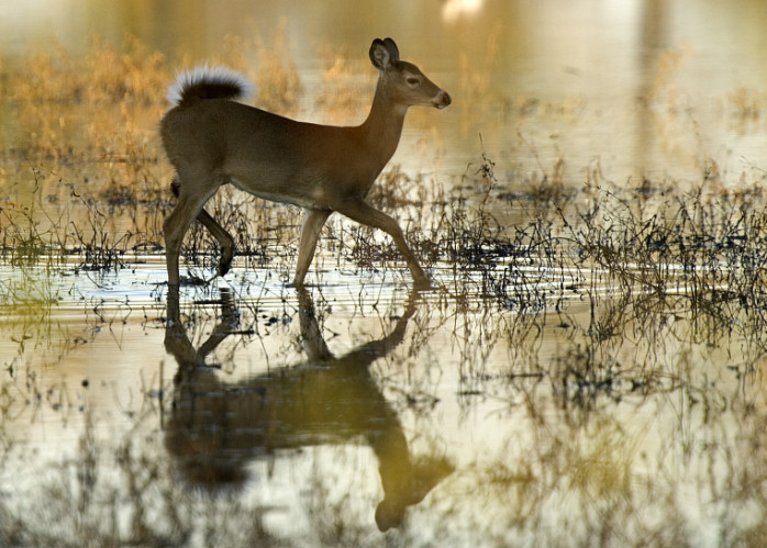 white-tailed deer in shallows