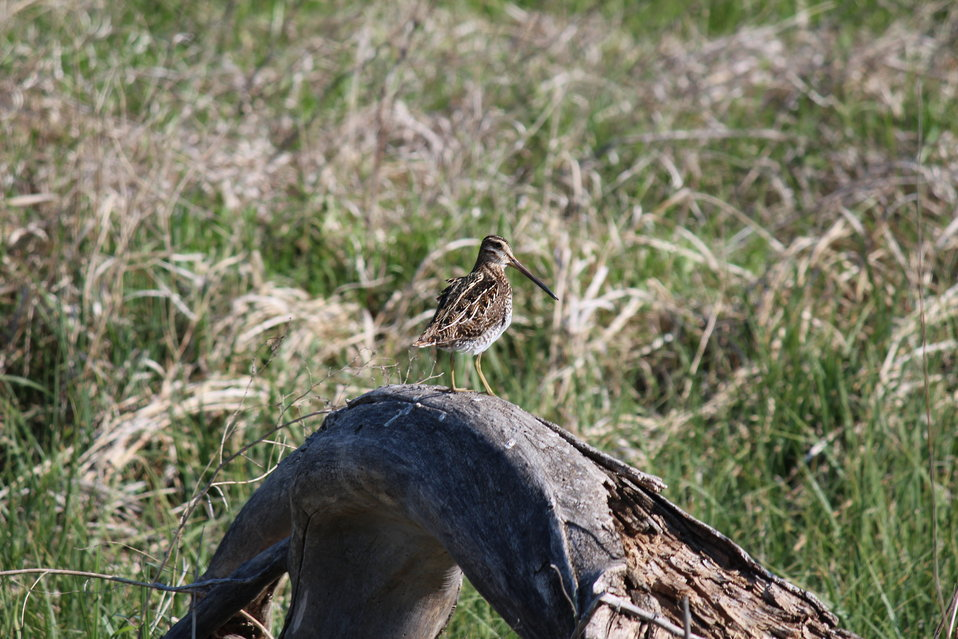 Common Snipe On Old Log