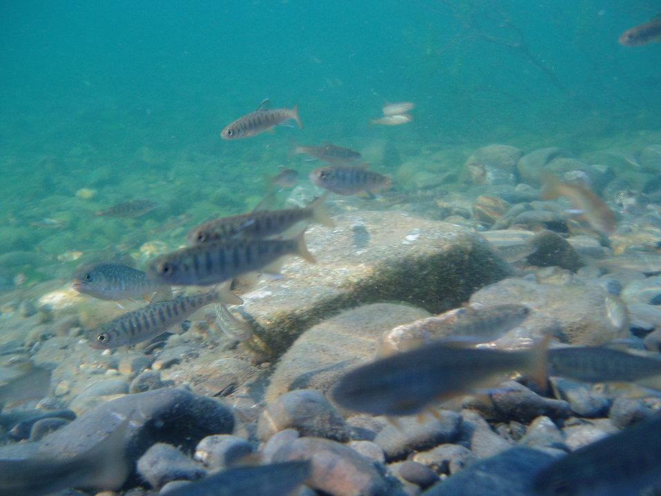 school of juvenile salmonids