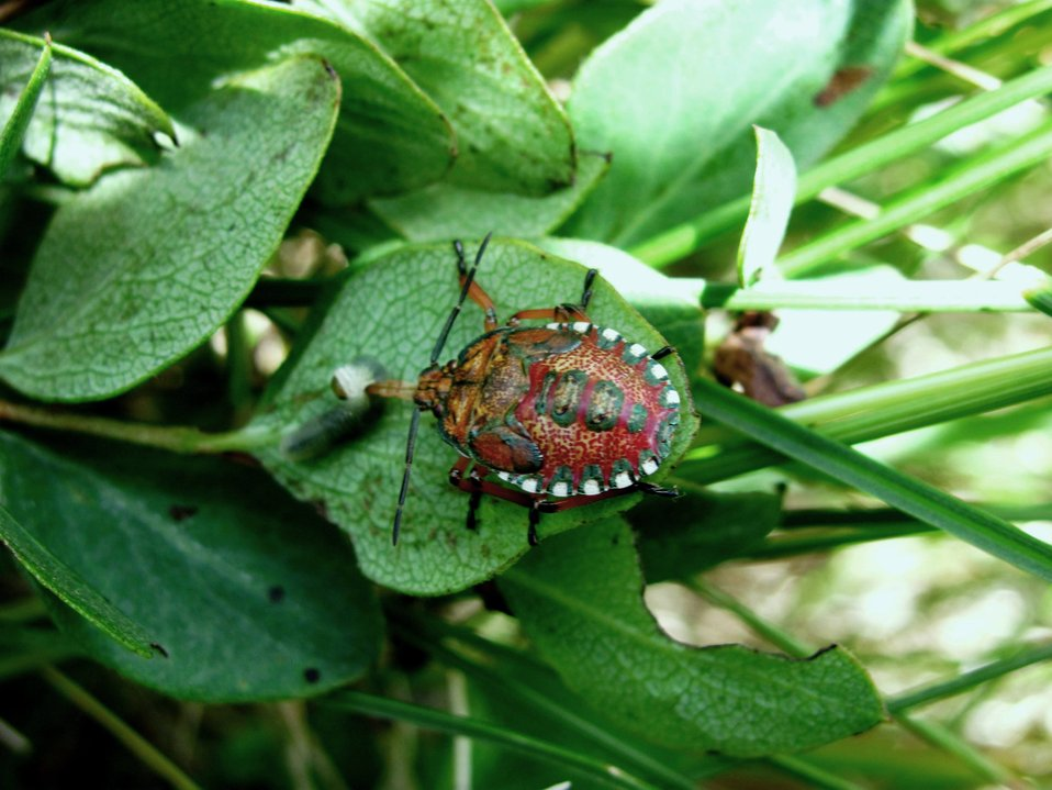Stink Bug Nymph