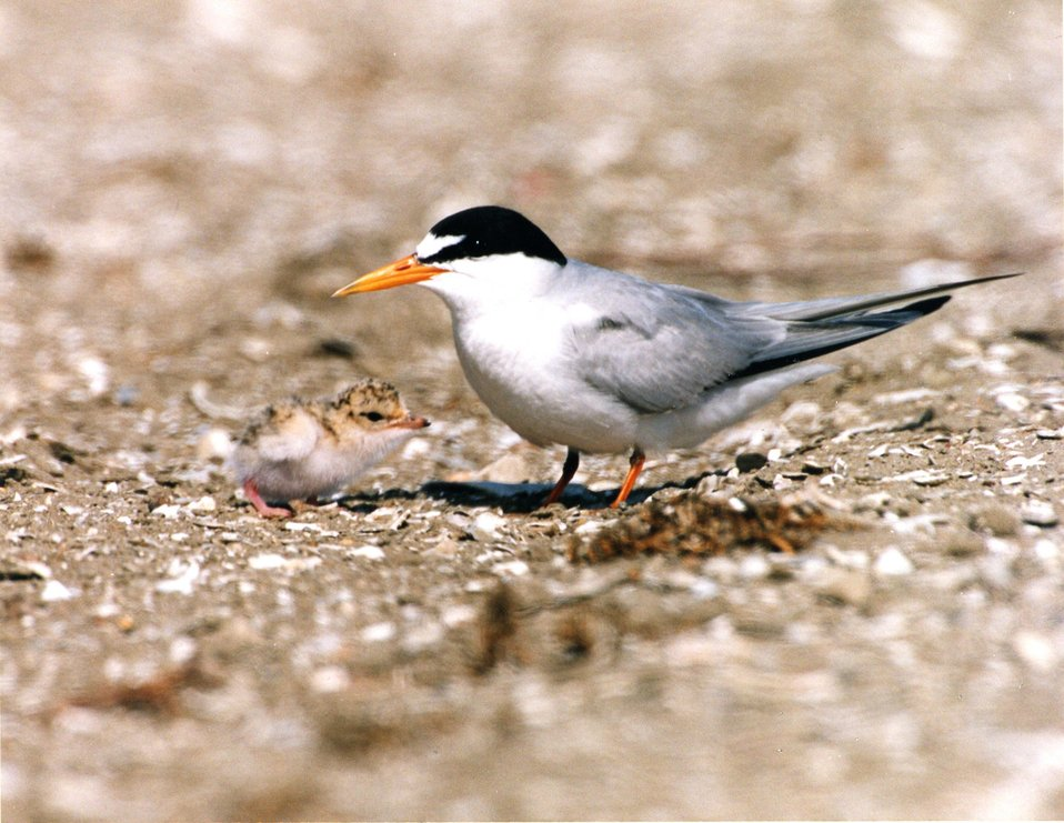 California Least tern adult with chick