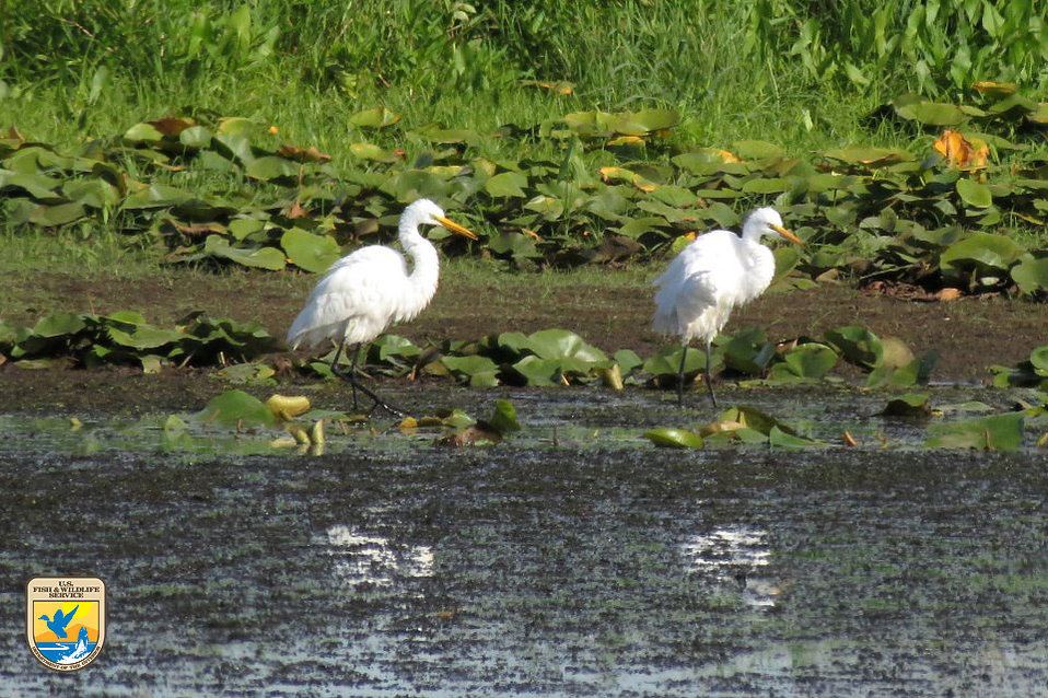 Great Egrets - Midwest Region