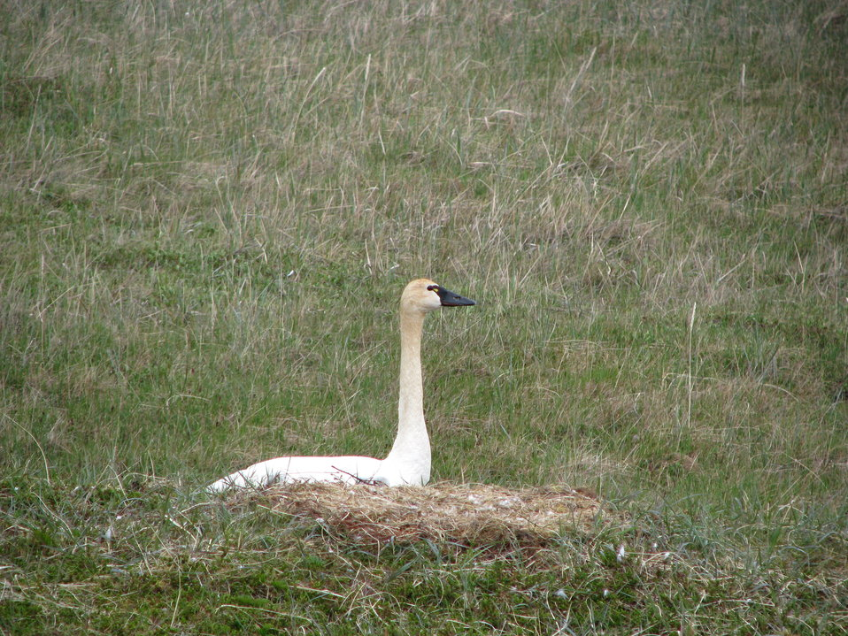 Tundra swan on nest