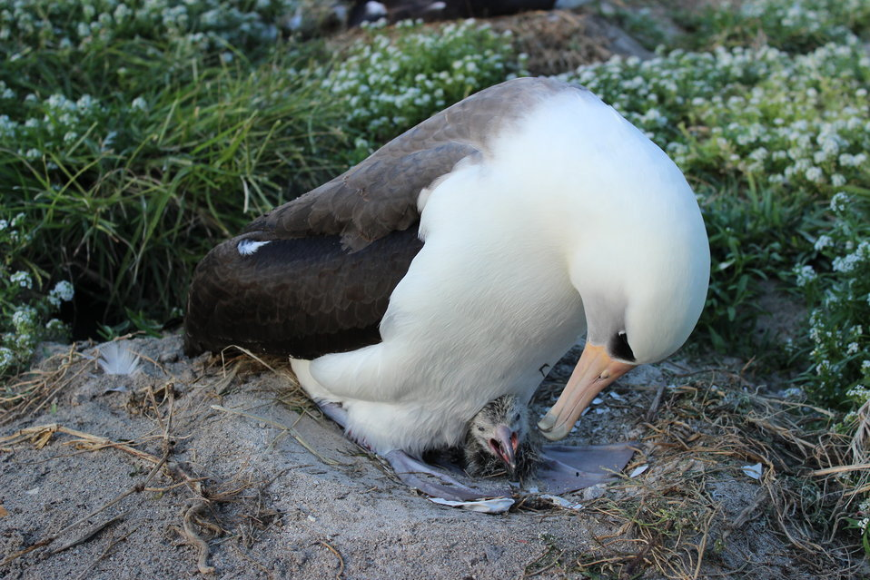 Wisdom and her newest chick on Midway Atoll NWR. Photo credit: Ann Bell/USFWS