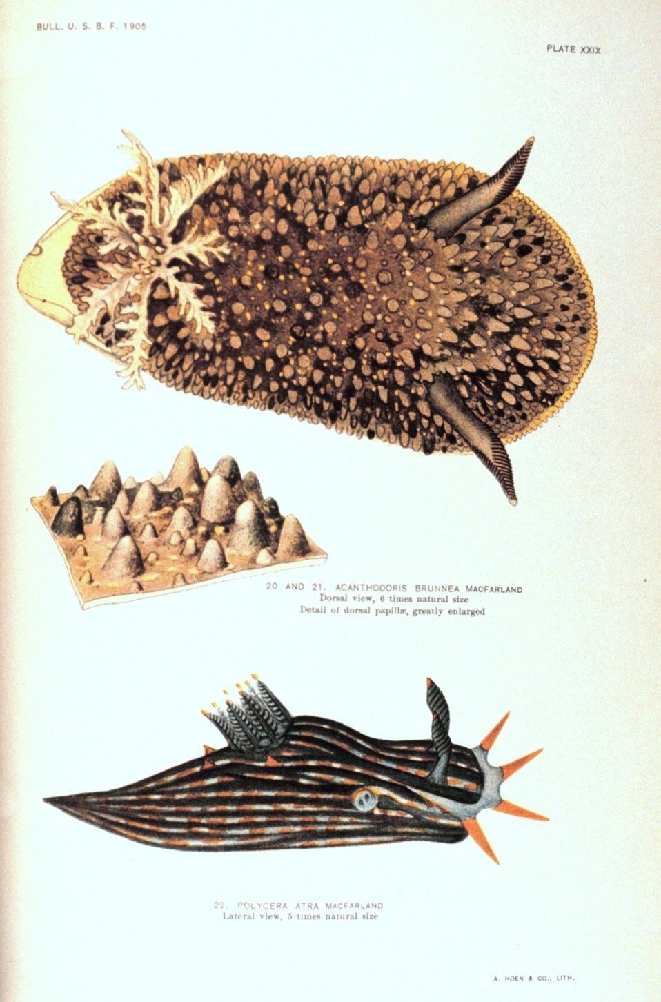 Nudibranchs.  20 and 21.  Acanthodoris brunnea MacFarland -Dorsal view and detail of dorsal papillae.  22.  Polycera atra MacFarland - lateral view. 20 and 21 painted by Anna B. Nash of the Hopkins Seaside Laboratory.  In: 'Opisthobranchiate Mollusca fr
