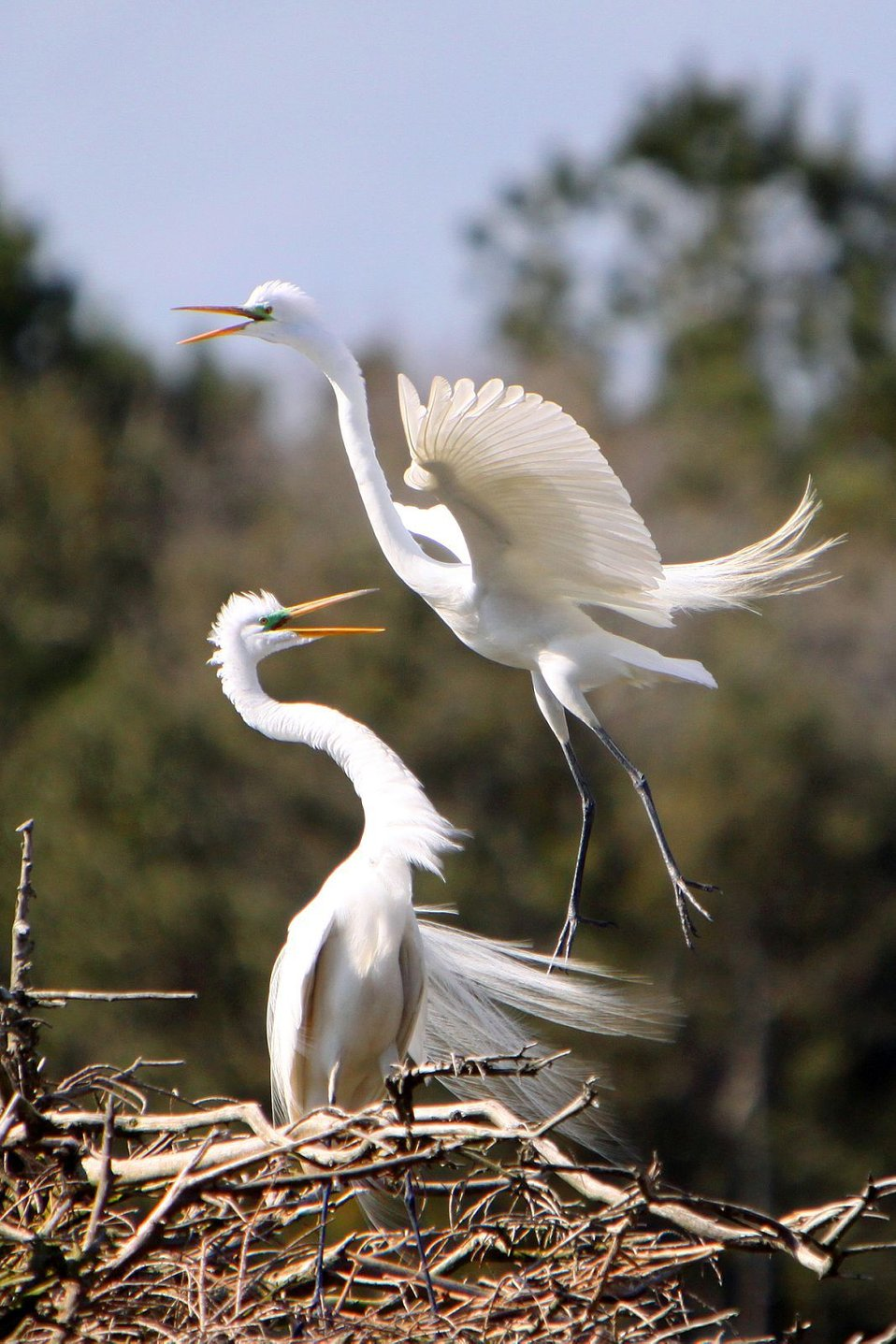 Great egrets in mating plumage