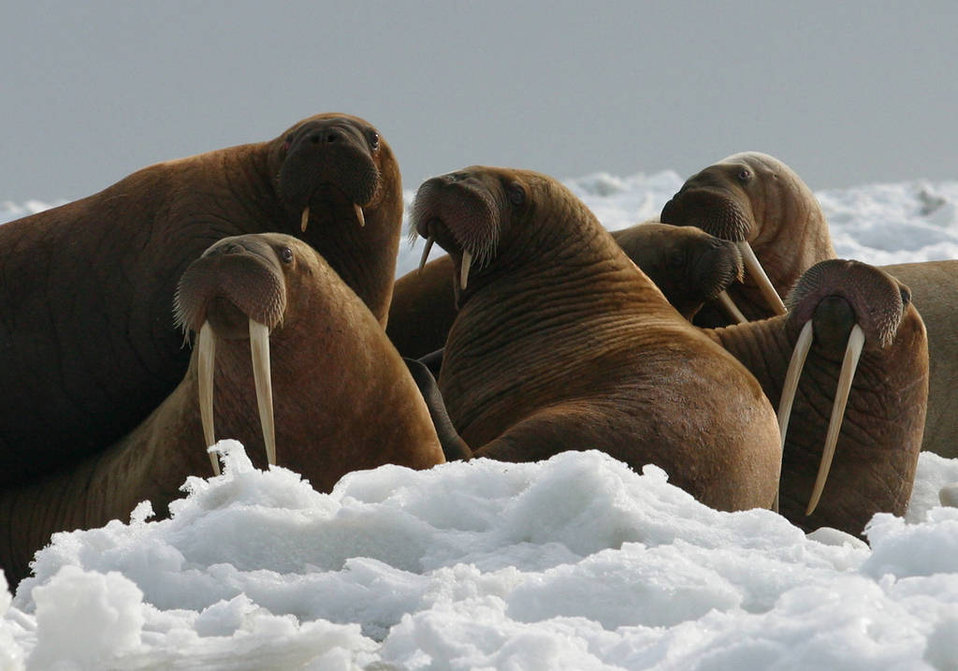 Walrus Cows and Yearlings on Ice