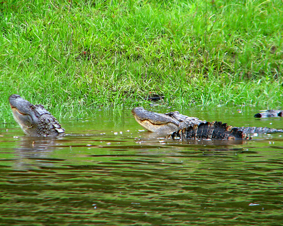 alligator pair