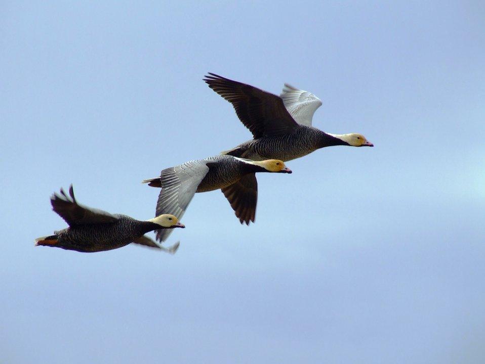 Emperor Goose Flyby