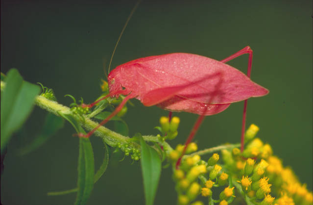katydid on goldenrod