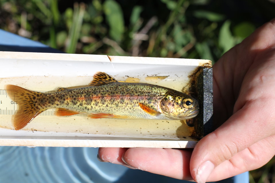 juvenile rainbow trout, Fish Creek Alaska