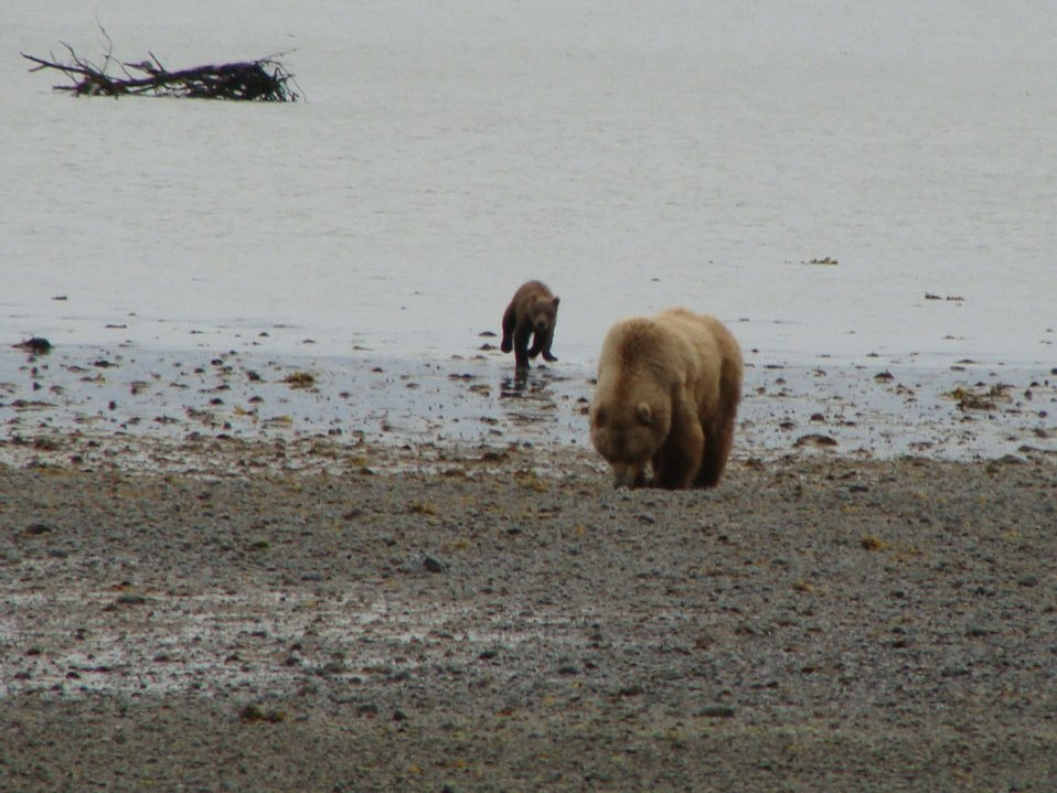 grizzly sow and cub, Izembek-Becharof National Wildlife Refuges, AK