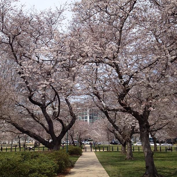 Tunnel of cherry blossoms in Senate Park