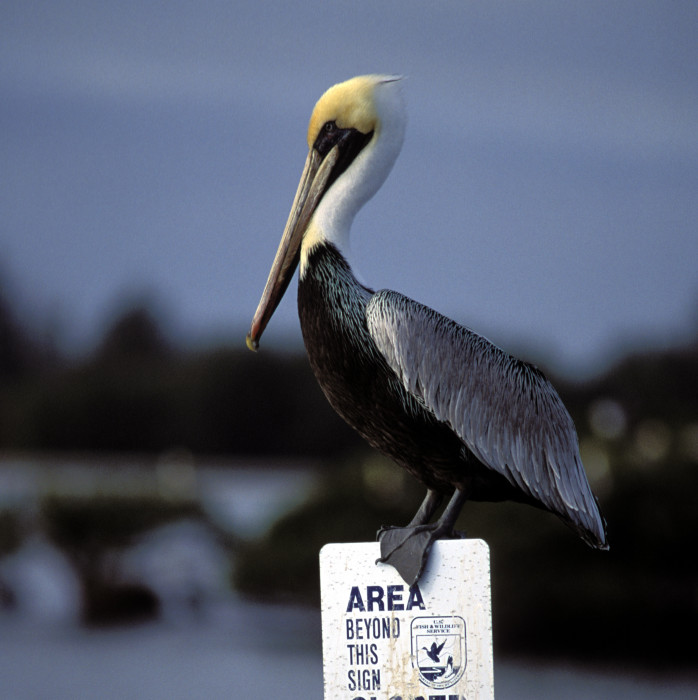 a pelican at home on Pelican Island