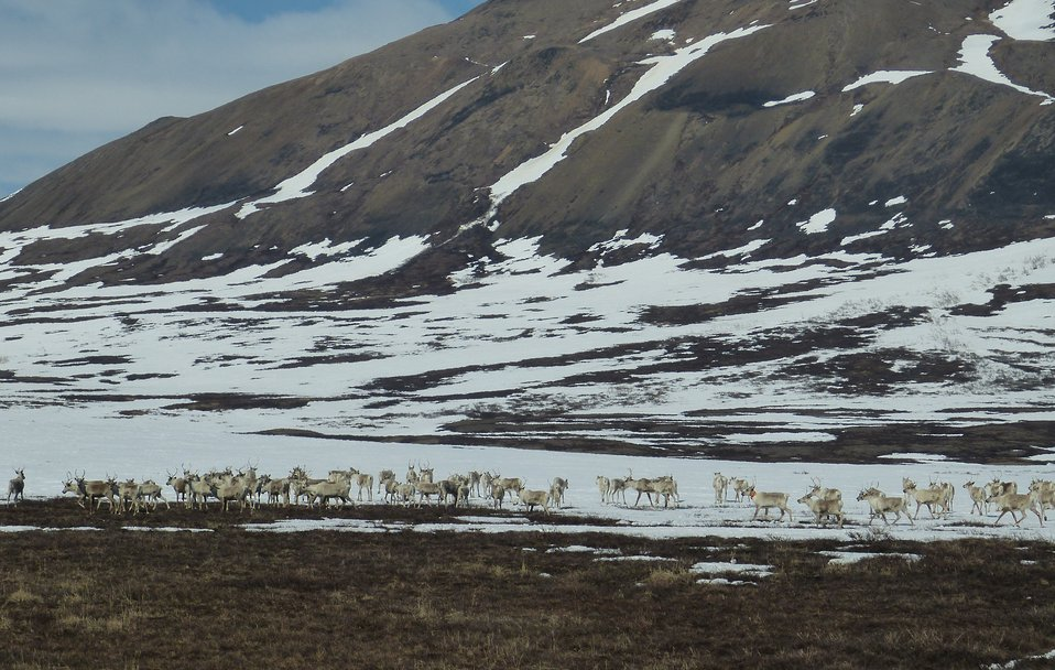 Caribou in Kilbuck Mountains