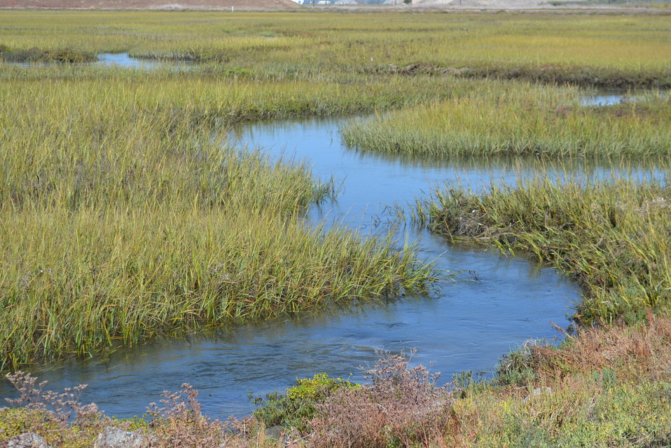 Cordgrass at Seal Beach National Wildlife Refuge