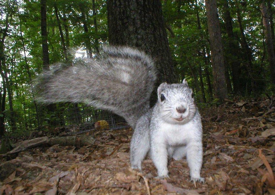 Delmarva fox squirrel caught on remotely triggered camera