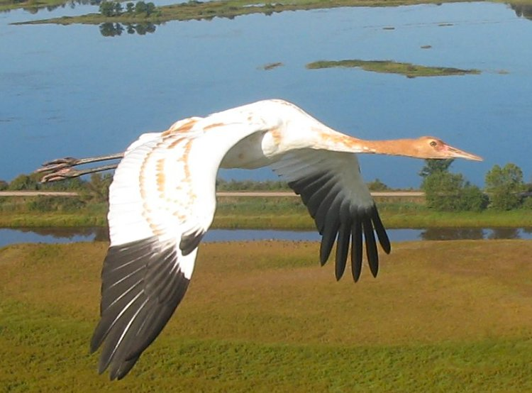 young whooping crane in flight