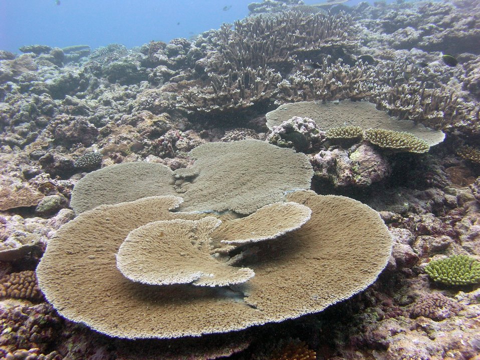 Large tabular coral (Acropora sp.)