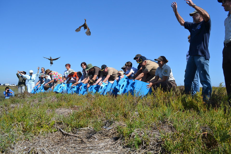 Light-footed clapper rails being release on Seal Beach National Wildlife Refuge