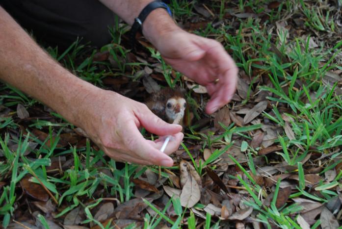 hand-feeding a chick