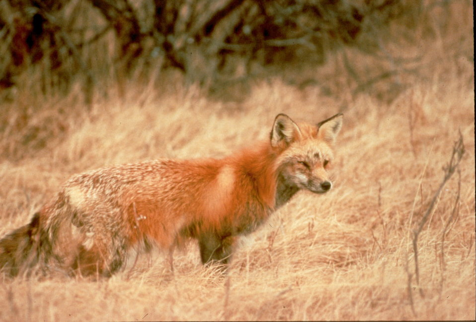 Sierra Nevada red fox in the grass