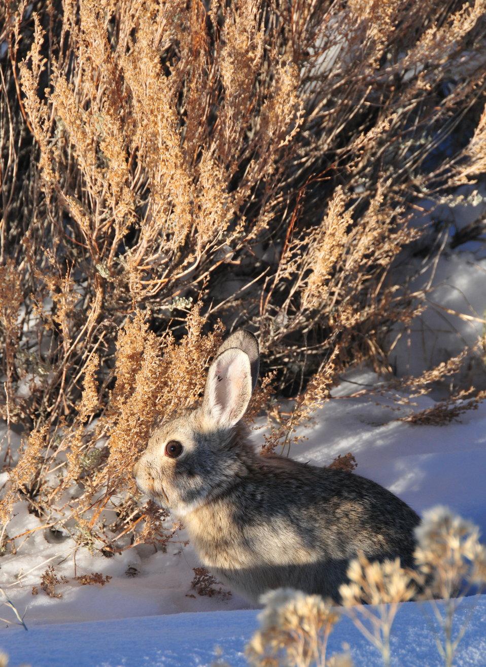 Pygmy Rabbit (Sylvilagus idahoensis) Seedskadee NWR 02
