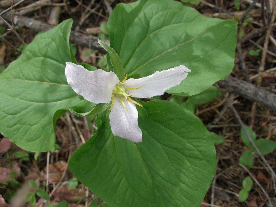 Western Montana Trillium